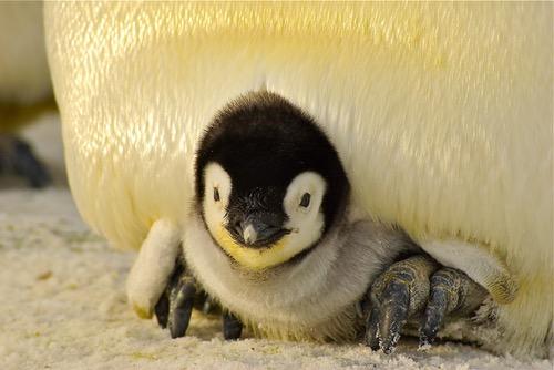 penguin-baby-antarctic-life-52512