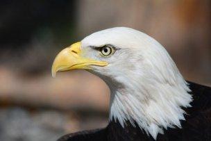 鷲の眼・遠くを見通す千里眼